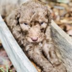 Adorable chocolate labradoodle in wooden cradle