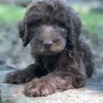 Labradoodle puppy profile shot