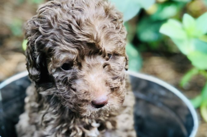 Chocolate doodle puppy in tin bucket