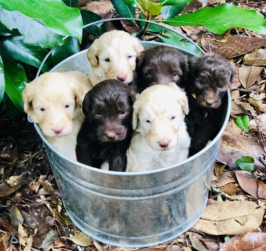 Labradoodle puppies in tin bucket