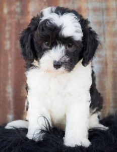 All About Doodles | Downeast Doodles | Doodle Puppies for Sale